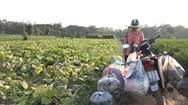 Video: Rau quả tươi ngon từ ruộng rẫy, hái xong chở đến nhà trao tặng người dân