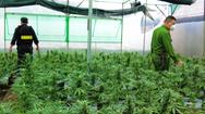 Video: Từ Tiền Giang lên Đắk Lắk lập 'trang trại' trồng cần sa, bán qua mạng xã hội