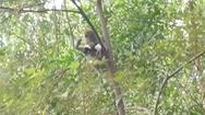 Video: Khỉ hoang 'bắt cóc' chó nhà rồi bồng lên cây, giữ như con suốt mấy ngày
