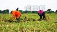 Góc nhìn trưa nay | Gặt lúa mưu sinh giữa Sài Gòn mùa dịch