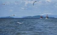 Hải âu săn mồi trên biển Kiên Giang