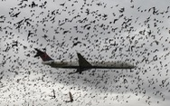 Các sân bay lớn trên thế giới đuổi chim bằng cách nào?