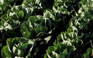 Mỹ, Canada khuyến cáo không nên ăn xà lách romaine
