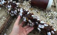 Sinh vật biển theo rác thải trôi dày đặc trên bãi biển Đà Nẵng