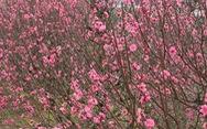 Hoa đào rơi trong gió nhưng lòng tôi đã ấm lại