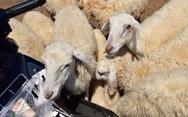 Thu chục triệu mỗi tháng nhờ đồng cừu Suối Nghệ ở Bà Rịa - Vũng Tàu