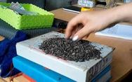 """Còn nhiều cà phê """"bẩn"""" trộn than pin tại 'thủ phủ' Đắk Nông"""