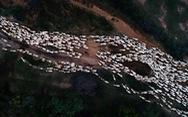 'Đàn cừu trở về' ở Ninh Thuận nổi bật trên National Geographic