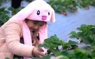 Bạn trẻ Hà Nội tíu tít hái dâu tây giữa làng đào Nhật Tân