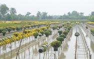 Hoa Sa Đéc rời giàn, nông dân vui vì giá tăng 10%