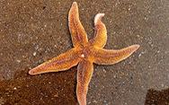 Phát hiện khả năng 'bật nhảy' của sao biển