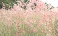 Video: Chiêm ngưỡng đồi cỏ hồng M'Đrăk