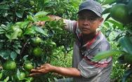 Quýt hồng Lai Vung trồng chậu độc, lạ sẵn sàng phục vụ Tết Canh Tý 2020