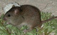 Chuột nâu Úc là động vật có vú đầu tiên tuyệt chủng vì biến đổi khí hậu