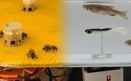 Không tin nổi khi ong và cá từ nay có thể 'trò chuyện, cãi vã' nhau