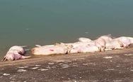40 con heo chết bị vứt bừa bãi ra môi trường