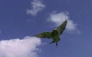 Những chiêu tự vệ của loài chim ngay đến con người cũng 'khó đỡ'