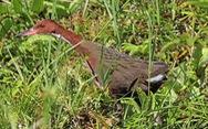 Loài chim cổ đại đã tuyệt chủng bỗng 'sống dậy'