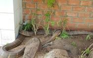 Bộ Nông nghiệp đề nghị thả cặp rắn hổ mây 'khủng' về môi trường tự nhiên