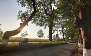 Hàng cây xà cừ hơn nửa thế kỷ trên quê hương Bác Hồ