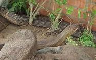 Từ rắn hổ mây đến xẻ thịt cá voi và lỗ hổng ứng xử với động vật quý hiếm
