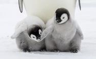 Chim cánh cụt hoàng đế cũng sắp bị tuyệt chủng