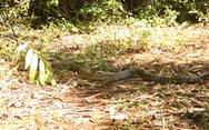 Cặp rắn hổ mây 'khủng' đã về rừng Đồng Nai