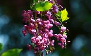 Hoa thàn mát nhuộm tím bán đảo Sơn Trà
