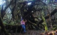 Khám phá rừng đỗ quyên cổ trên đỉnh Trường Sơn