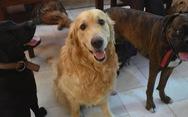 Mắt chó tiến hóa để thu hút cảm tình của con người