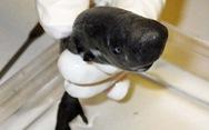 Kỳ lạ loài cá mập 'bỏ túi' có thể phát sáng