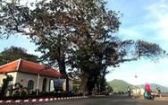 Cây bàng bi tráng nuôi sống hàng ngàn người tù Côn Đảo