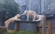 Sở thú ra mắt dịch vụ giữ giấy đăng ký kết hôn trong chuồng cọp