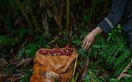 Chuyến thu hoạch thảo quả ở vườn quốc gia Hoàng Liên lên NatGeo