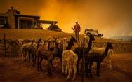 Khóc, vì gần nửa tỉ động vật ở Úc đã chết cùng cháy rừng