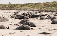 Hơn 120 con cá voi, cá heo chết do mắc cạn