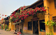 Hoa giấy nở rực rỡ Hội An trong 'những ngày corona'
