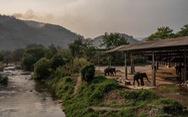 Hơn 1.000 con voi Thái Lan sắp phải đi ăn xin vì corona