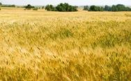 Giá lúa gạo toàn cầu tăng mạnh