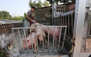 Bộ Nông nghiệp đề nghị trang trại, hộ chăn nuôi hạ giá heo xuống 70.000 đồng/kg