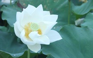 Ngây ngất với đầm sen trắng xứ Huế ở Hà thành