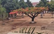 Hiệu trưởng nói gì khi 'cách ly' cây phượng giữa sân trường?