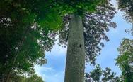 Ngắm 'thần mộc' sa mu ngàn năm tuổi trong rừng nguyên sinh