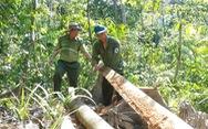 'Lâm tặc mở đường giữa rừng đốn gỗ': Bắt 2 nghi phạm