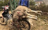 Trâu bò chết rét, dân mổ thịt bán dọc đường để gỡ gạc tiền