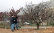 Người dân Sa Pa làm đơn xin xác nhận 'đào cổ' tự trồng để không nhầm lẫn đào rừng
