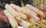 Khổ vì trồng bắp chỉ thu được... cùi