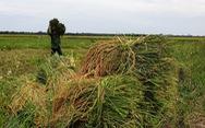 Quảng Bình test nhanh COVID-19 cho nông dân ra đồng gặt lúa, Quảng Trị gặt lúa 'non'