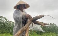 Nông dân Quảng Nam dầm mưa nhổ sắn 'chạy bão'