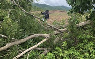 San ủi cây rừng tái sinh để... trồng keo lai
